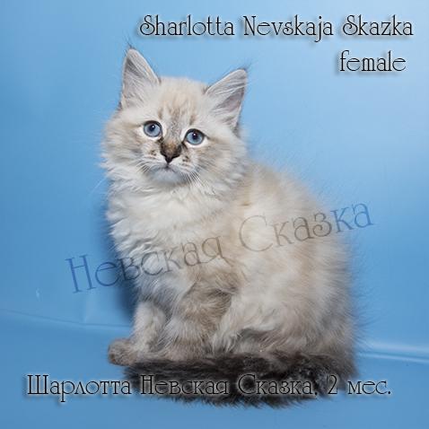 Продается невский маскарадный котенок окраса сил тебби пойнт