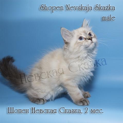 Продается невский маскарадный котенок окраса блю пойнт