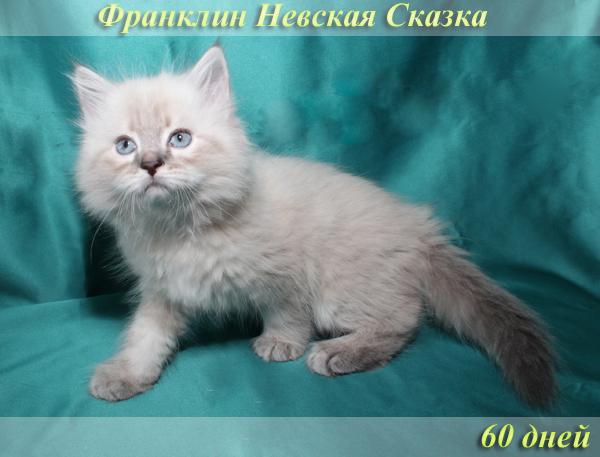Продается невский маскарадный котенок окраса блю-тэбби пойнт
