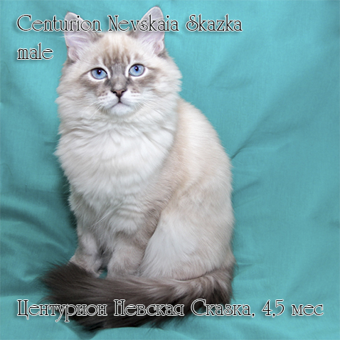 Продается невский маскарадный котенок окраса блю тебби пойнт