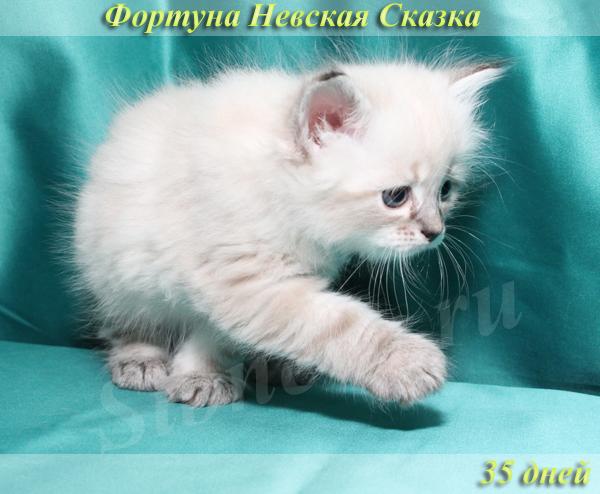 Продается невский маскарадный котенок окраса сил-тэбби пойнт
